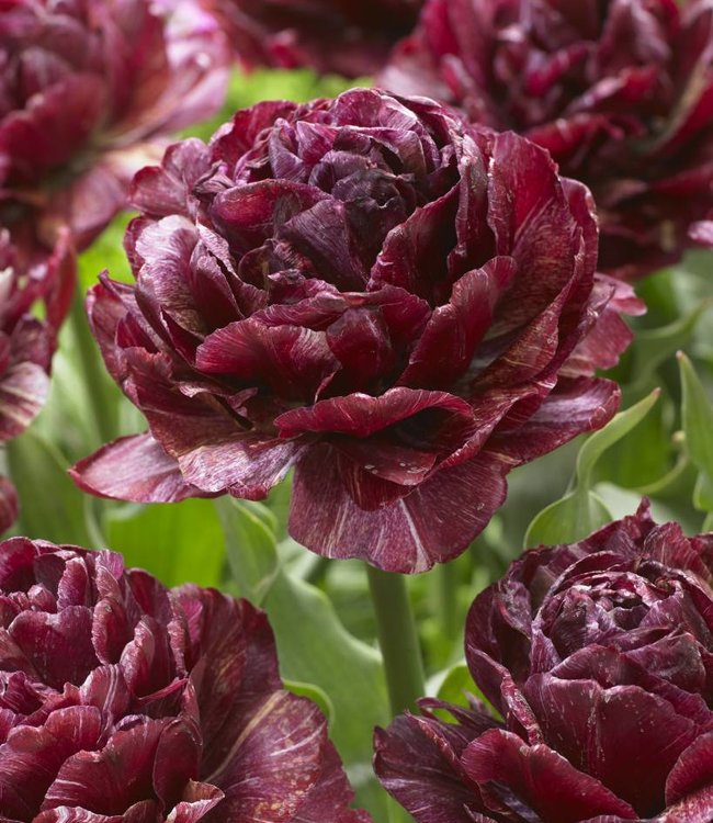 Tulipe Nachtwacht