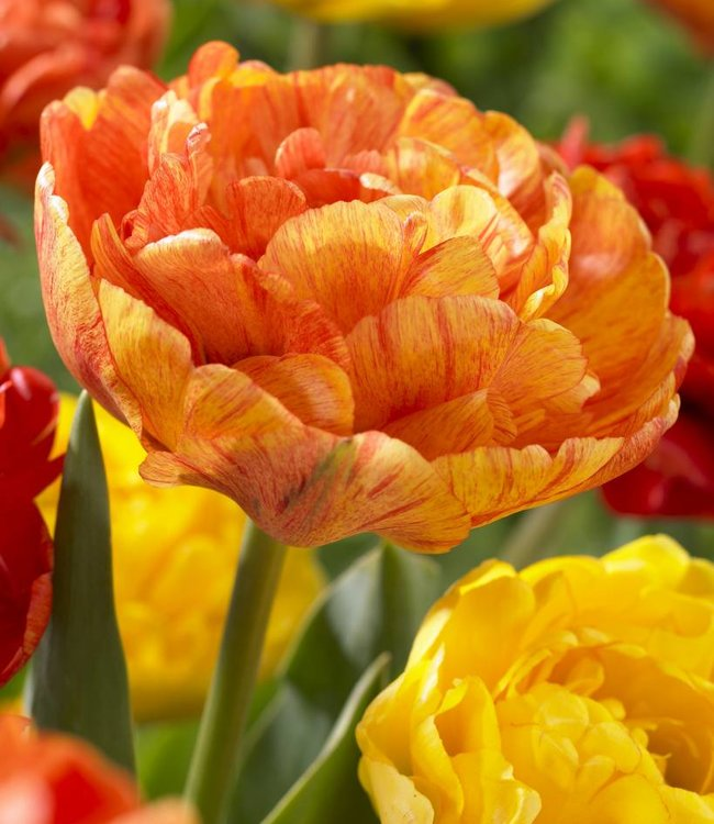 Tulpe Sun Lover