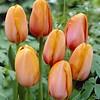 Tulpe Dordogne