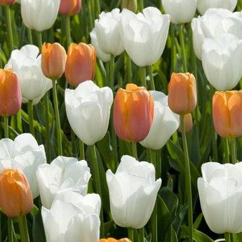 Tulipa Dordogne
