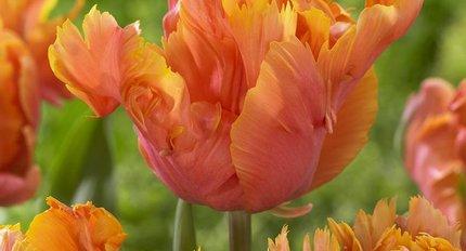 Papageie Tulpen