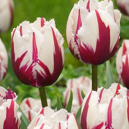 Tulp Flaming Baltic