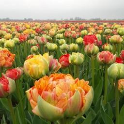 Тюльпан Gudoshnik Double