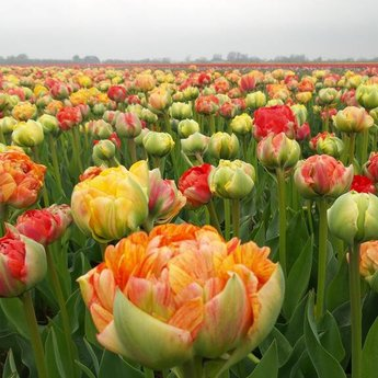 Tulipa Gudoshnik Double