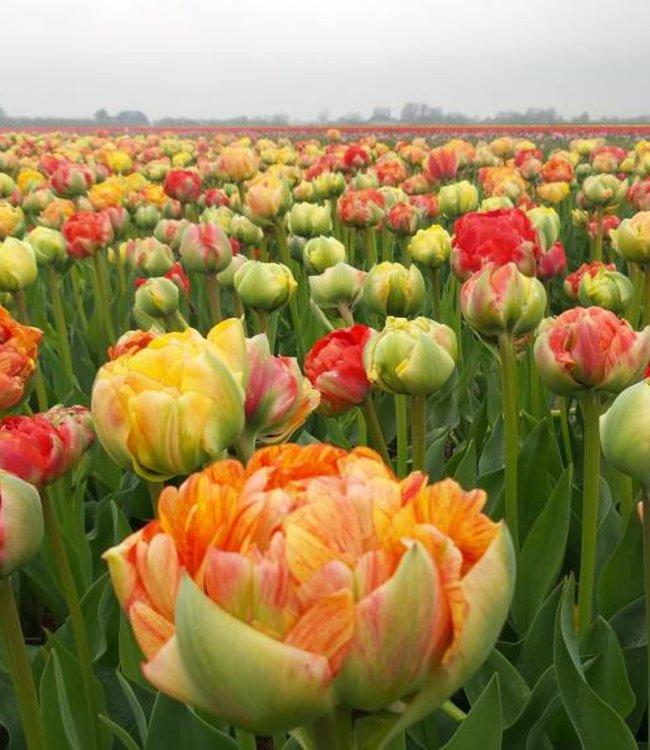 Tulipe Gudoshnik Double