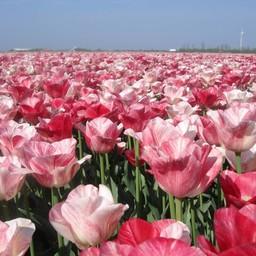 Tulpe Hemisphere