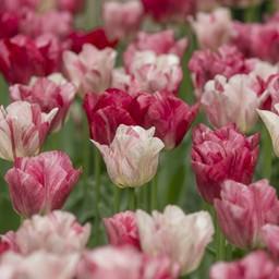 Tulip Hemisphere
