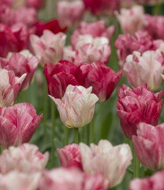 Tulipe Hemisphere