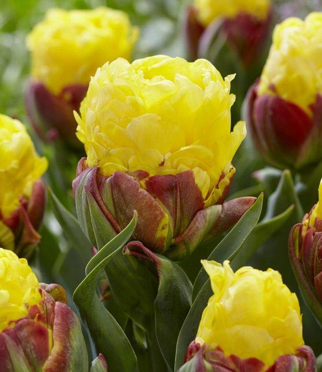 Tulipe Ice Cream Banana