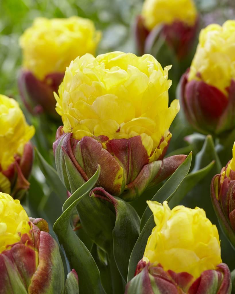 Tulip Bulbs Ice Cream Banana Just An