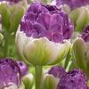 Тюльпан Exquisit