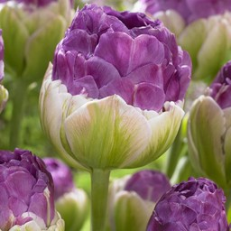 Tulp Exquisit