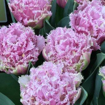 Tulipa Perth