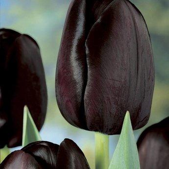 Tulipa Ebony and Ivory