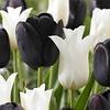 Tulip mixture Ebony and Ivory