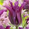 Tulip Purple Doll