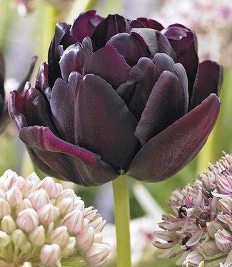Tulipe Black Hero