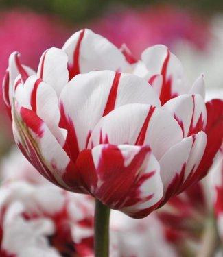 Tulpe Carnaval de Nice