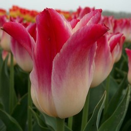 Tulpe Whispering Dream