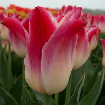 Tulipa Whispering Dream