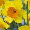 Daffodil Pimpernel