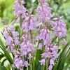Hyacinthoides pink