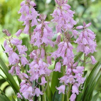 Hyacinthoides rosa
