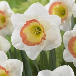 Narcissus  Night Cap