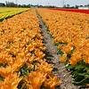 Tulip Orange Princeps