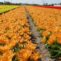 Тюльпан Orange Princeps