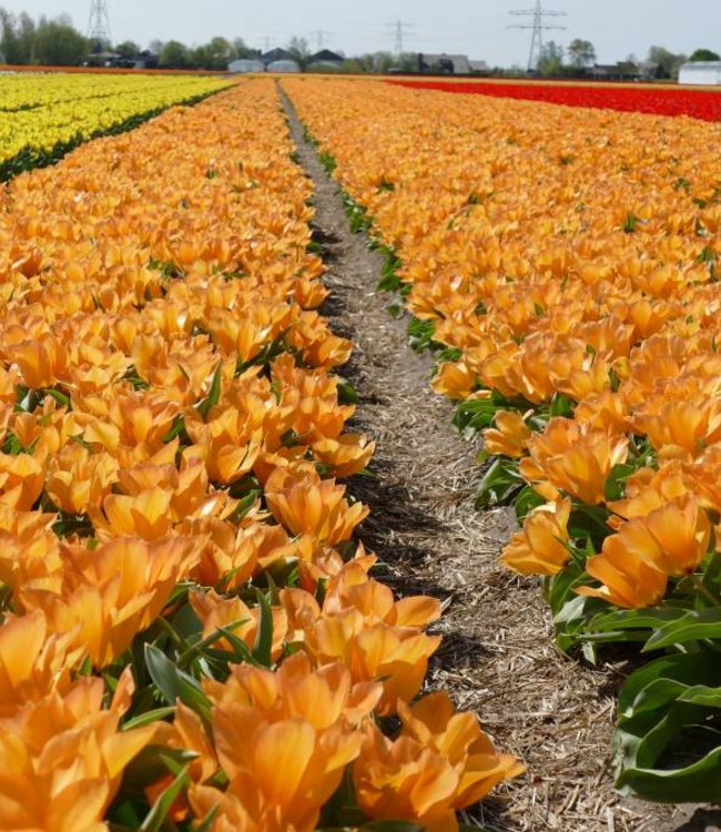 Tulipe Orange Princeps