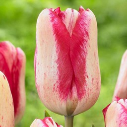 Tulp Moulin Rouge