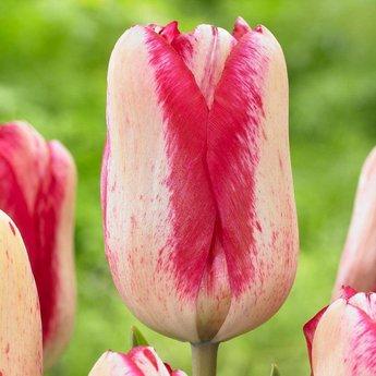 Tulipa Moulin Rouge