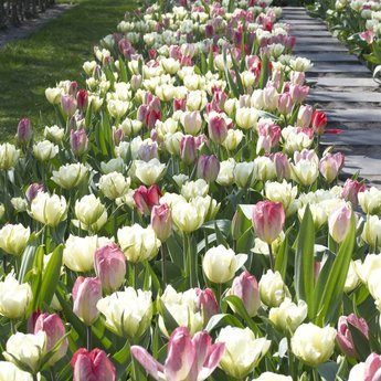 Tulipa Dream Carpet