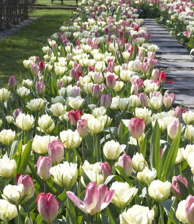 Tulipes de melange Dream Carpet