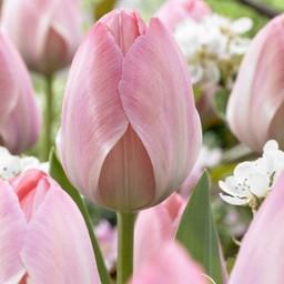 Тюльпан Mystic van Eijk