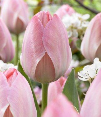 Tulpe Mystic van Eijk
