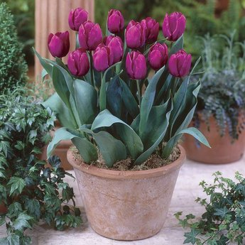Tulipa Purple Prince