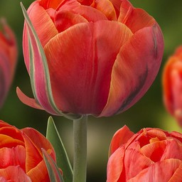 Tulpe Queensday