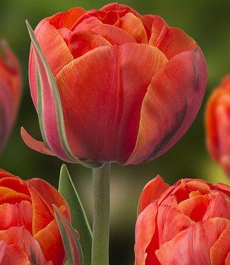 Tulip Queensday
