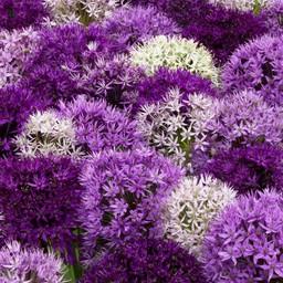 Allium Festival