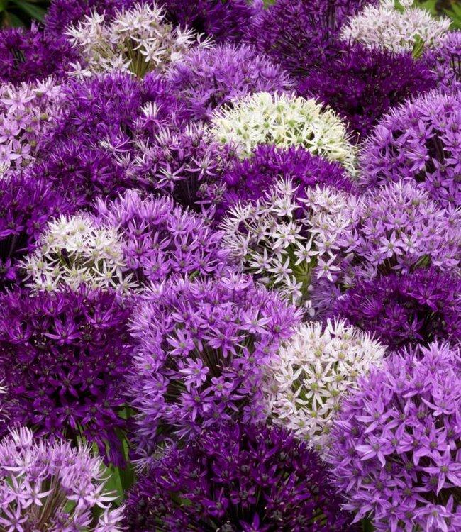 Allium Festival -