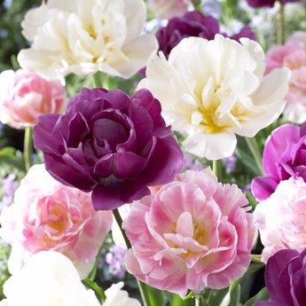 Tulipa Foxtrot