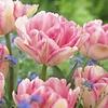 Tulip Foxtrot