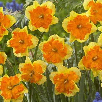 Narcissus Congress