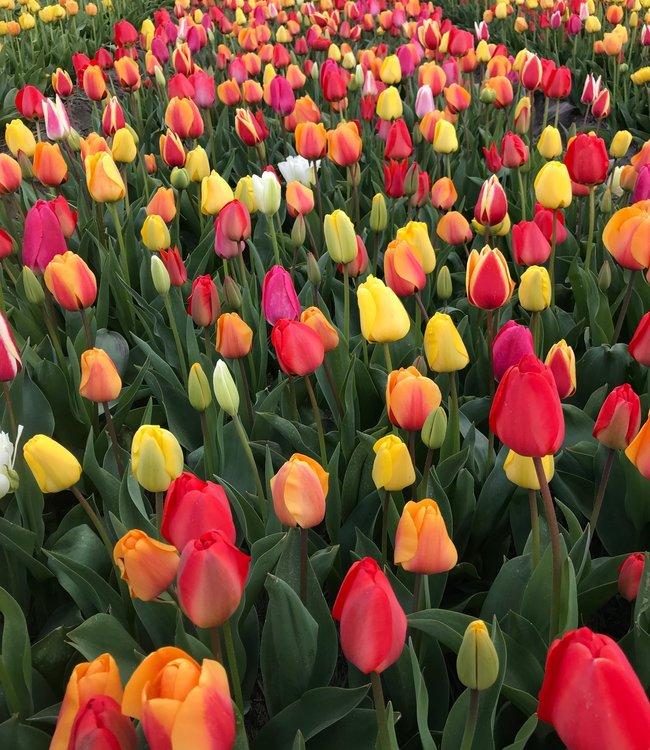 Tulpen Mischung Spring Feeling