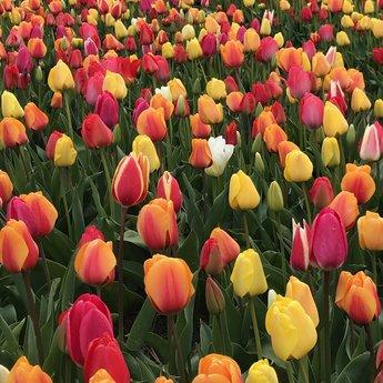 Tulipa Spring Feeling