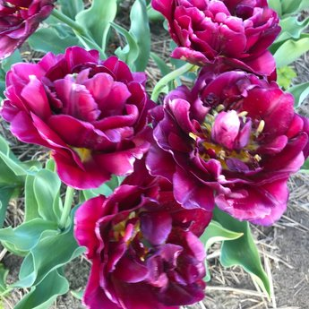 Tulpe Jinan