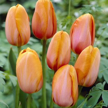 Tulipa French Rubies