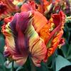 Tulpe Rainbow Parrot